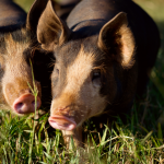 Pigs in Paradise: Mālama Farm Raises Them Right on Maui
