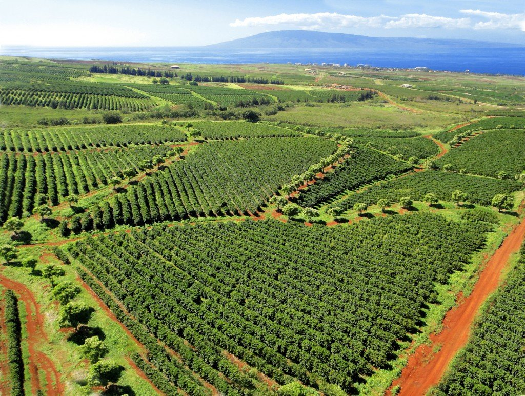 Kaanapali Coffee Farms