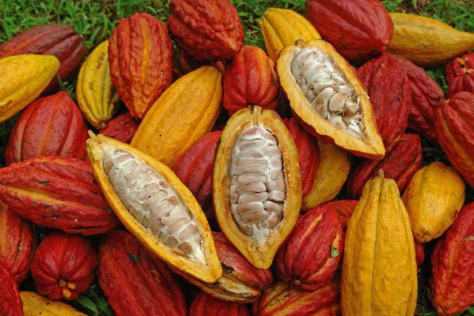 Cocoa Pods, Cacao