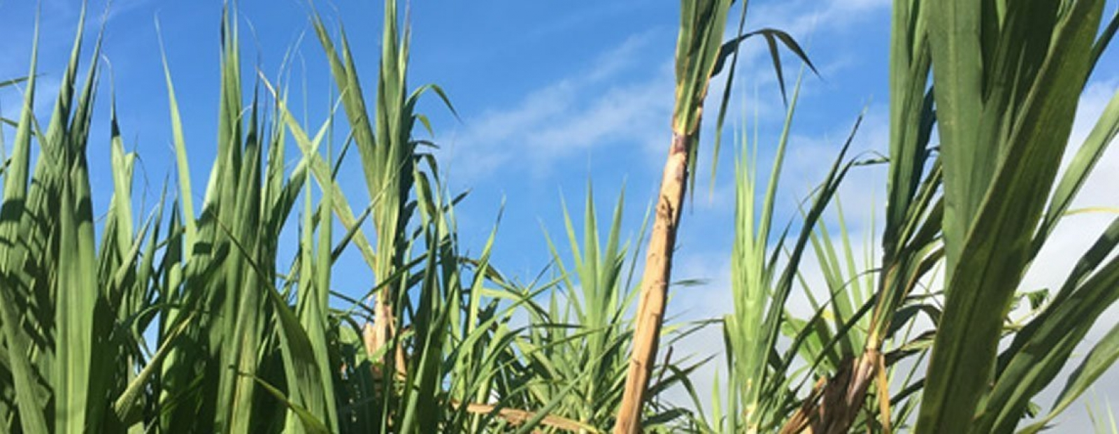 SUGARCANE IN HAWAI'I